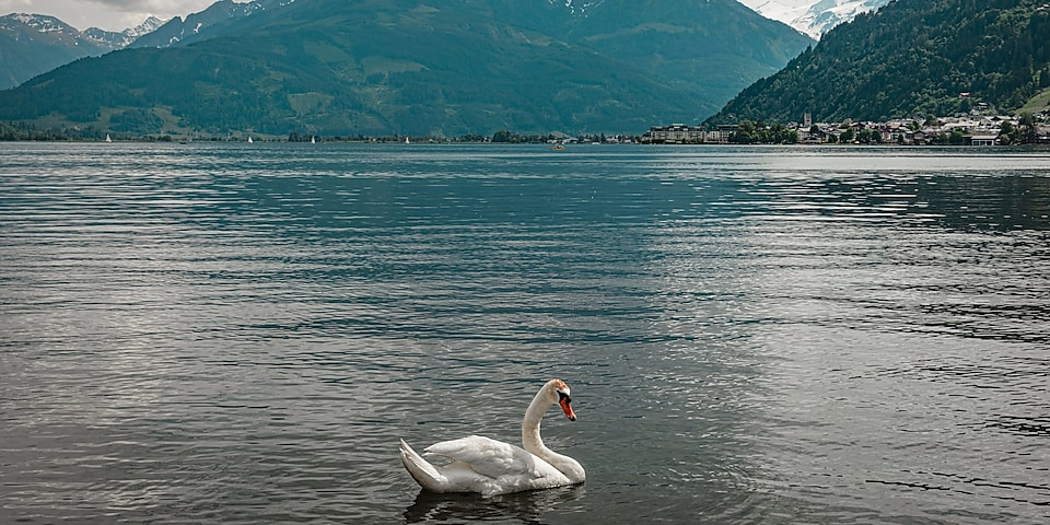 image of a swan on a lake